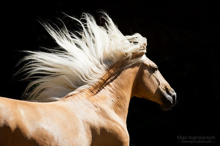 Lusitano stallion