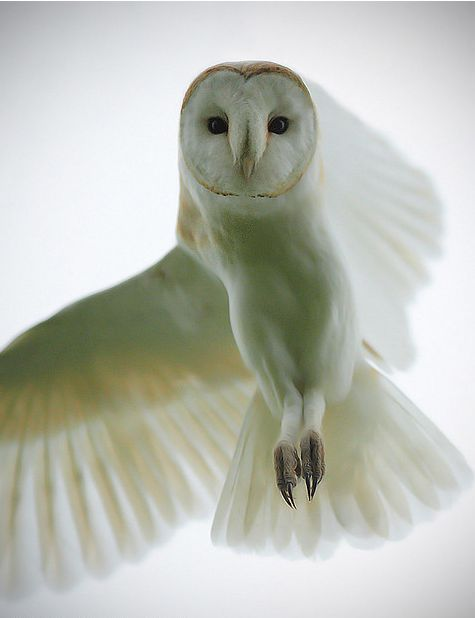 854 best images about owl expressions on pinterest for Do owls eat fish
