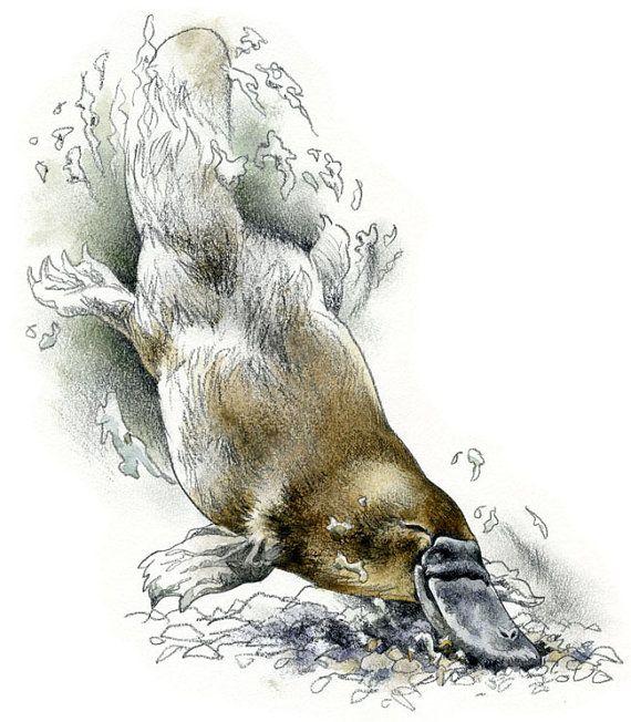 platypus watercolour wildlife art nature print of original artwork - Platypus Pictures To Print