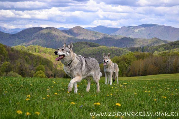 czechoslovakian wolfdog females Vega and Blu
