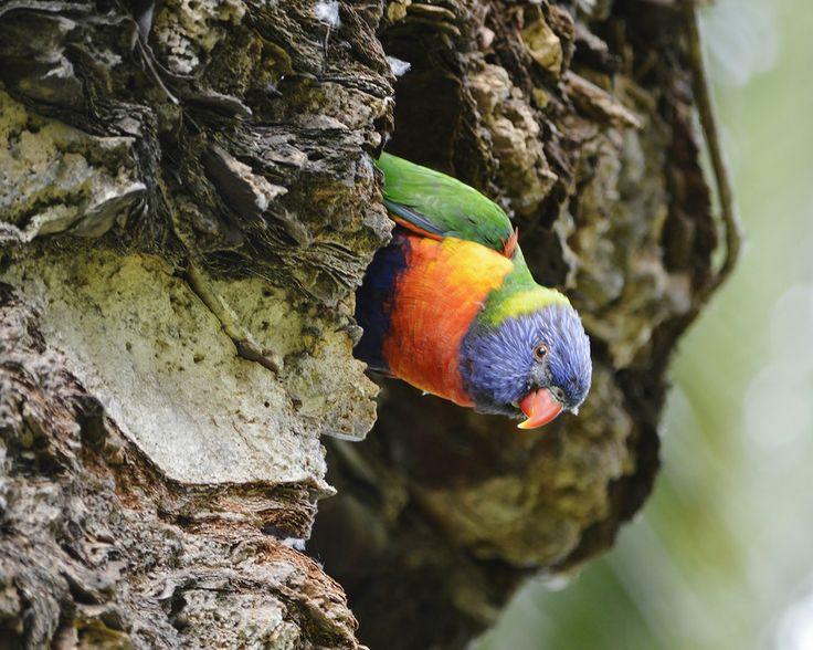 Rainbow Lorikeet At Nest 2 by Tomislav Vucic on 500px   #bird #parrot #parakeet #rainbow #lorikeet #wildlife #australia #sydney #nature #nesting #tree #burrow