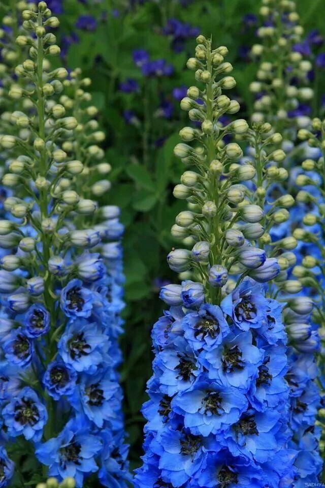 Delphinium, blue.