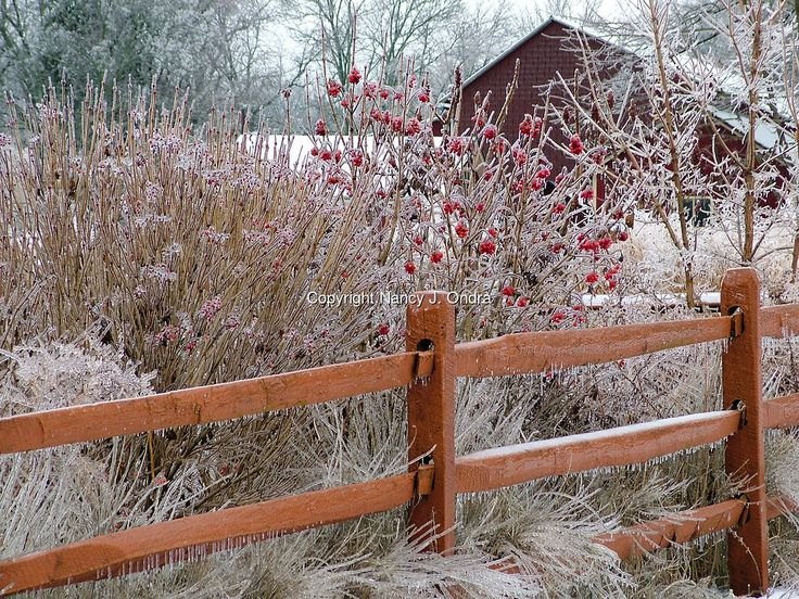 A snowy winter garden scene with the red berries of American cranberrybush (Viburnum opulus var. americanum [V. trilobum] shrubs and a split-rail fence, all covered with ice