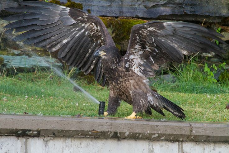 Baby Bald Eagle Discovers the Wonders of a Pulsating Water Sprinkler