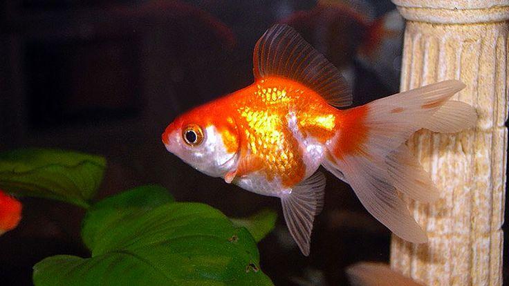Poisson rouge Queue d'éventail - Fantail Goldfish