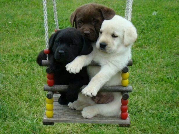 ....just TOO DARN CUTE!!!...♥ Puppies on a Swing Labrador Retriever Puppies: black, chocolate and yellow.