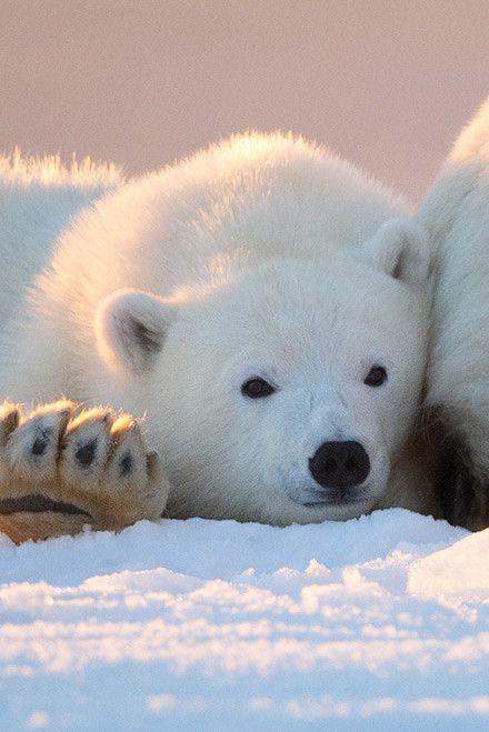 Polar Bear Cub ~ by: Tin Man