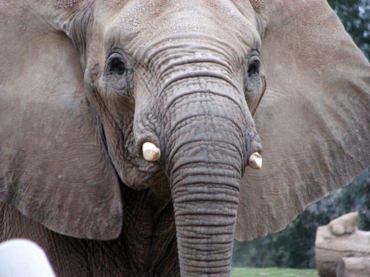 Голова слона