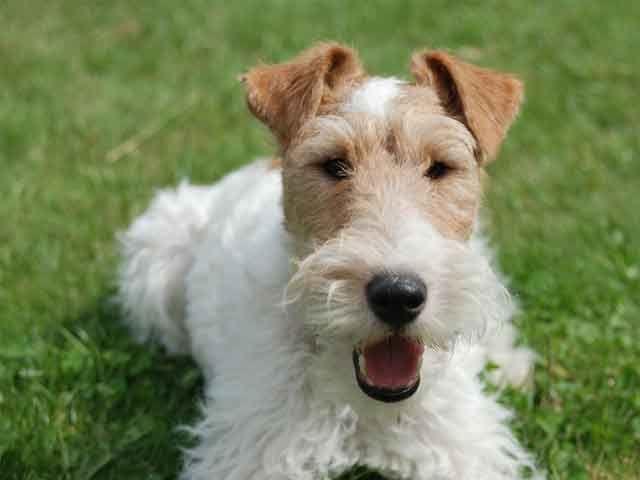 Rescued Wire Fox Terrier Finally Walks