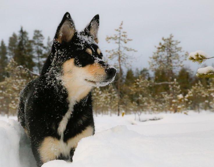 Dog - Lapponian Herder Seita. Gunuine breed from Finland and Lapland.