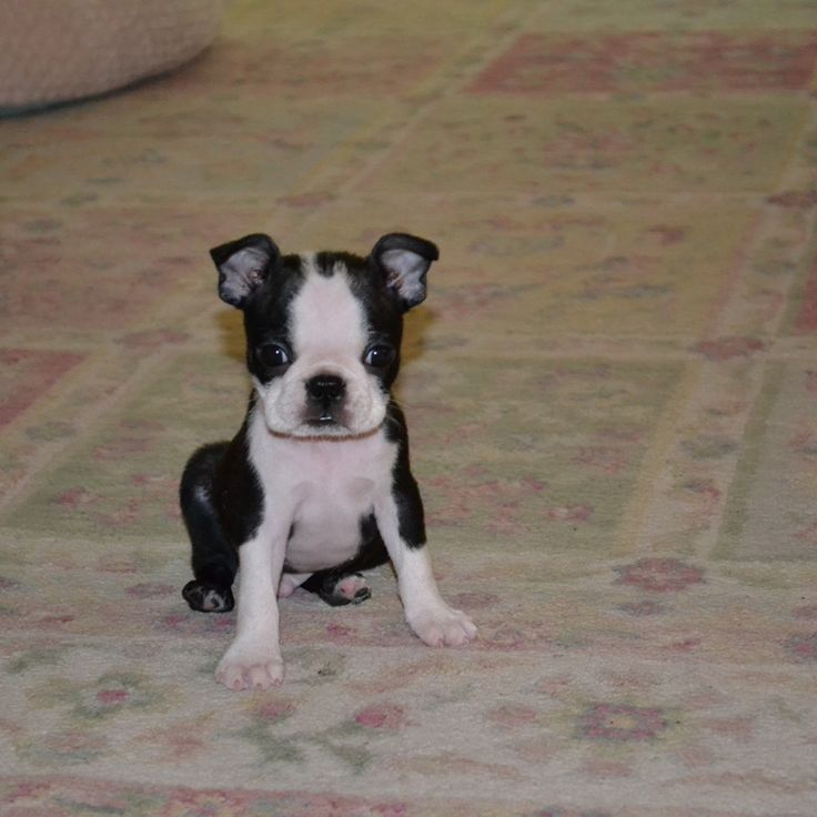 Learning to Sit - Toby from Evens, GA, USA (PHOTO)Here is a photo of a Boston Terrier named Toby from Evans, GA, USA. This is Toby learning to sit..    http://www.bterrier.com/learning-to-sit-toby-from-evens-ga-usa-photo/  Like Boston Terrier Dogs on Facebook: http://www.facebook.com/bterrierdogs