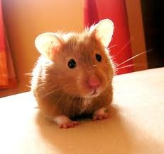 I used to have one of these little guys...I named him Hammy! Did you know that hamsters ae originally from Syria?