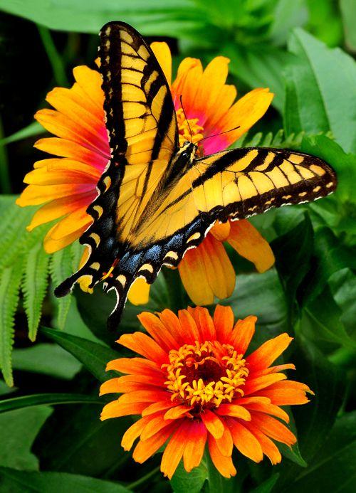 So pretty! .....  Eastern Tiger Swallowtail butterfly on 'Zowie' Zinnia by Cindi Dyer