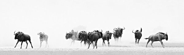 Stampede by Andrew Aveley on www.digitalgallery.co.za