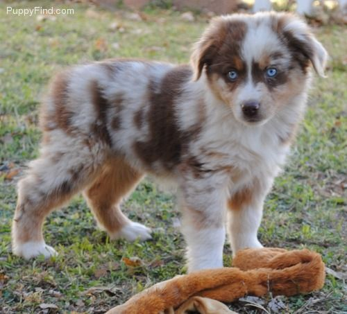 Miniature Australian Shepherd! This reminds me of my cousins dog Tucker but he wasn't a minature