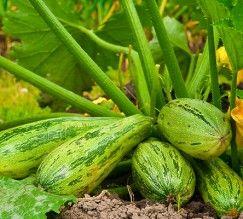 como-plantar-abobrinha-em-casa