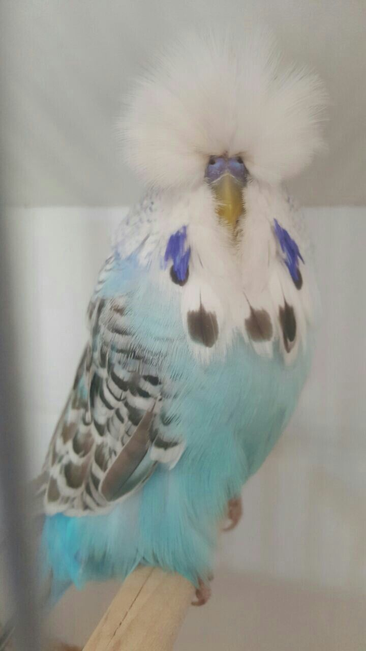 Sky Blue Cinnamon Showbudgie, South Africa National winner 2016 Tommie Roodt