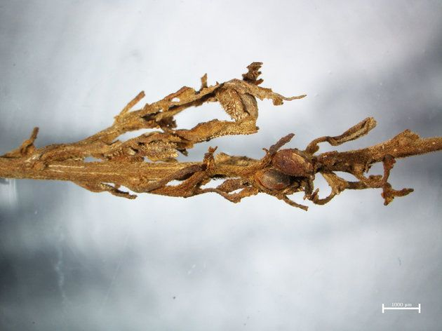 """A detail from one of the ancient cannabis plants, showing the resinous """"hairs"""" that contain psychoactive compounds."""