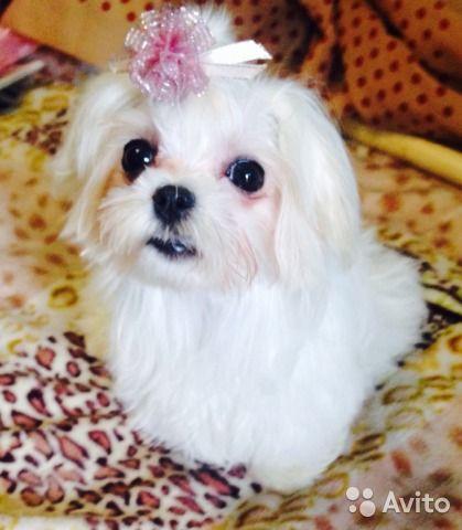 Продаются очаровательные щенки Мальтийской болонки. Стандарт и мини. Щенки для…