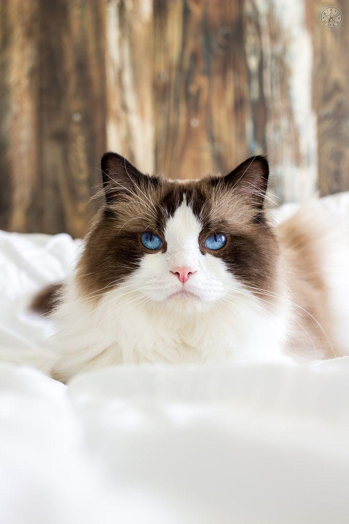 Ragdoll cat