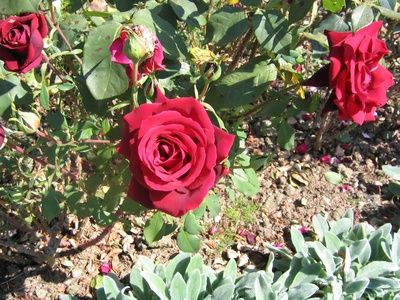 How to Grow Knockout Roses From Clippings    I just take cutting & stick them in the ground & same thing with figs , rose of sharon .Take cutting when in spring just you see little buds coming out from branches, these buds in soil becomes roots.