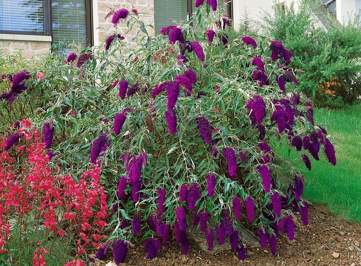 Buddleia davidiiNanho Purple butterfly bush 20 25 cm