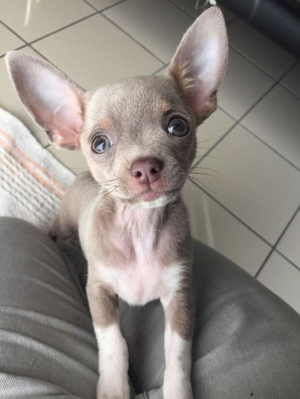 Chihuahua mix puppy