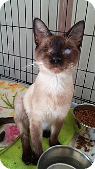 Satellite Beach, FL - Siamese. Meet Ray Ray, a cat for adoption. Please contact Jennifer (mustloveshelterdogs@yahoo.com) for more information about this pet. Six month old blind Siamese sealpoint kitten. Ray Ray is FIV +, http://www.adoptapet.com/pet/15487304-satellite-beach-florida-cat