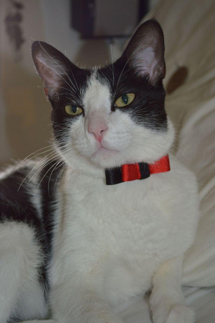 """Su nombre es """"Gato"""" #cat #gato #mascota #corbatin"""