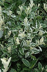 Click to view full-size photo of Harlequin Wintercreeper (Euonymus fortunei 'Harlequin') at Squak Mountain Nursery