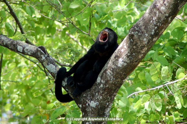 Mantled Howler Monkey, Costa Rica - Guanacaste Nat. Park, Arenal Volcano, Corcovado Nat Park, around Riu Guanacaste Hotel.