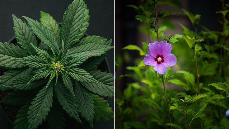 FOX NEWS: Couple says police detained them after mistaking hibiscus plants for marijuana