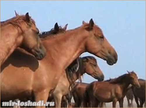 Дикие лошади России
