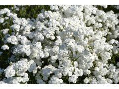 """Achillea ptarmica """" Perle """" - řebříček bertrám Zahradnictví Krulichovi - zahradnictví, květinářství, trvalky, skalničky, bylinky a koření"""