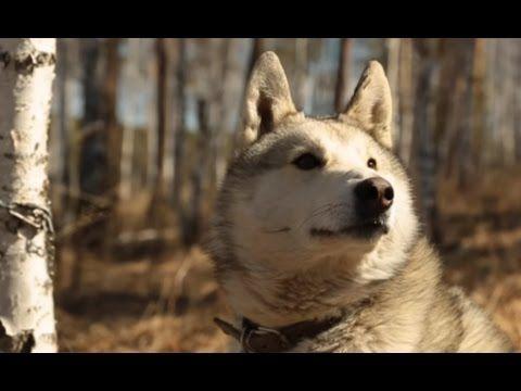 Западносибирская лайка. Планета собак  Моя Планета - YouTube