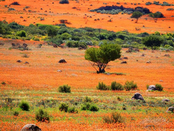 Namaqualand, an arid region in Namibia and South Africa that stretches over some 600 miles. Every spring, the barren area suddenly fills with orange and white daisies, creating one of the most surreal landscapes in the world.