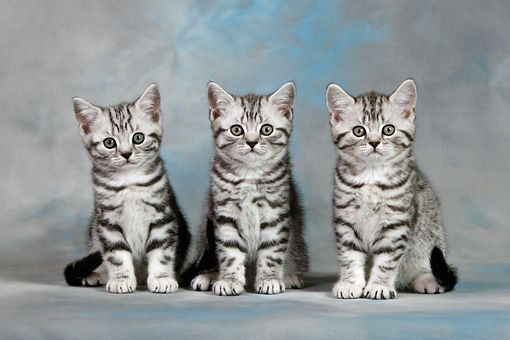 CAT 03 KH0091 01 - Three British Shorthair Silver Tabby Kittens ...