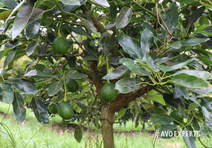 Westfalia is proud to farm a variety of different avocado cultivars to be able to provide avocados throughout the year.