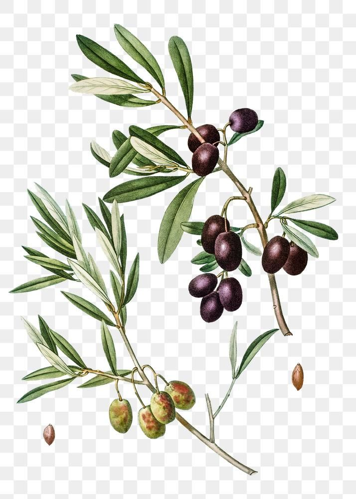 Olive Tree Branch Transparent Png Free Image By Rawpixel Com Tree Branches Olive Branch Olive Tree