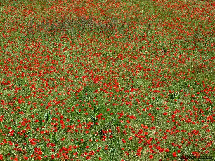 Champ de coquelicots - Poppy field #Luberon #provence