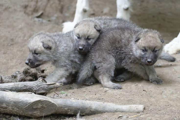 Arktische Wolfswelpen