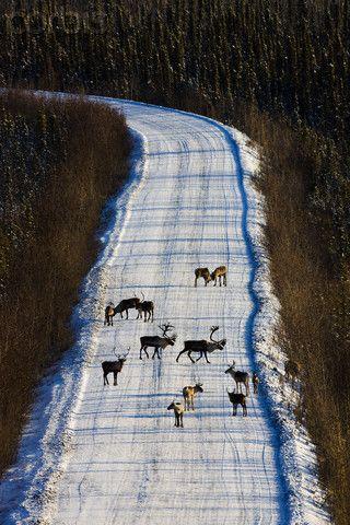 Caribous cruzar la carretera Dempster durante la temporada de caza. Caribous perteneciente al ganado Caribú de Grant en el Refugio Nacional de Vida Silvestre del Ártico. Los caribúes están amenazadas por la apertura de más y más sitios de perforación de petróleo. Yukon Canadá-foto de Theo Allofs