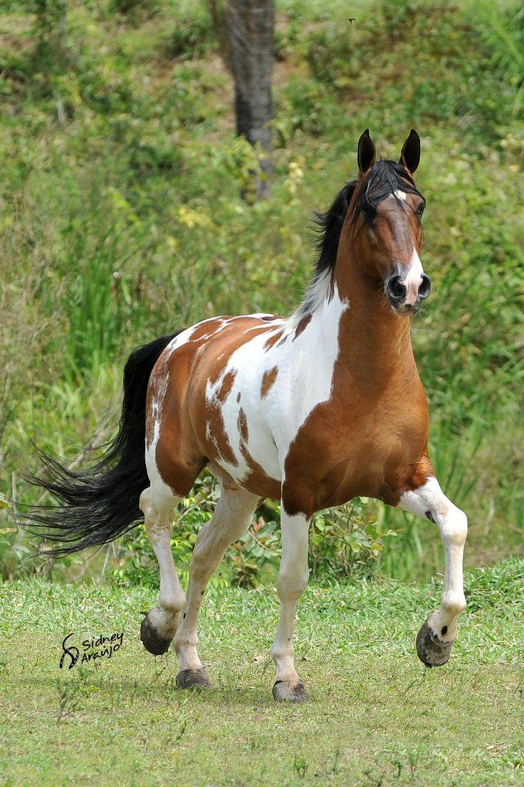 Campolina stallion Esteio da Hibipeba, spotted beauty, grass, horse, hest, animal, movement, beautiful, gorgeous, photo