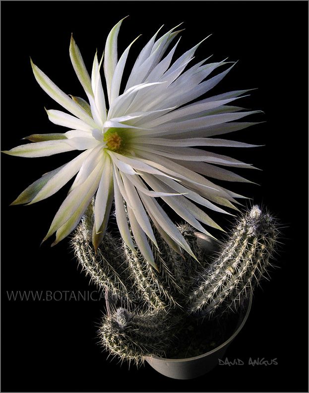 Setiechinopsis mirabilis - Google Search