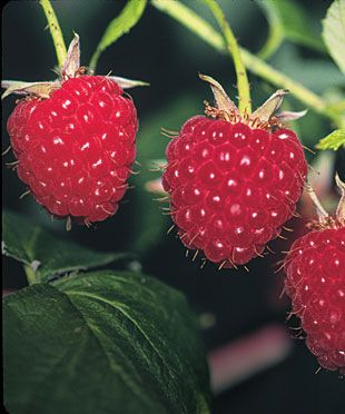 Pruning Red Raspberries - thinning is the secret to healthier plants and bigger, sweeter berries.