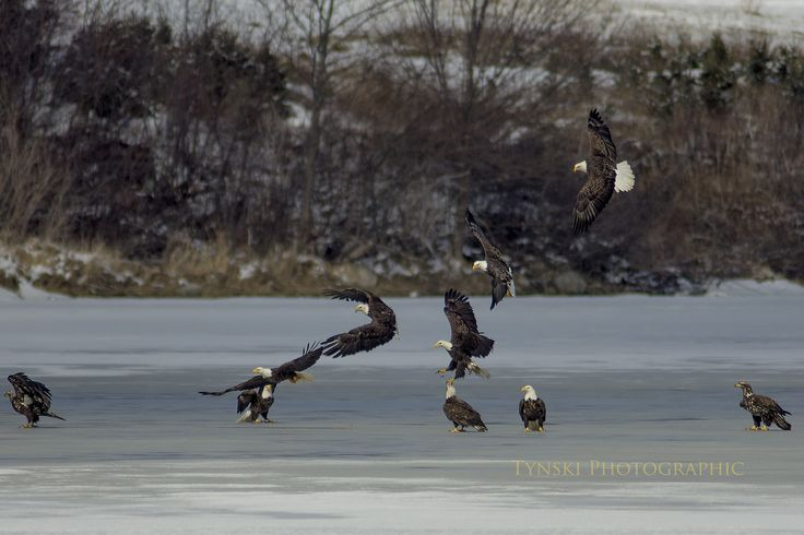 Kettle of eagles