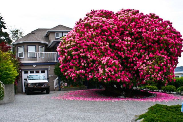 When reddit user smartforever posted this magnificent picture of an old rhododendron (from Ancient Greek  rhódon rose and déndron tree) on reddit, he probably made it the most famous rhododendron ever. Most rhododendrons are considered shrubs, but this one definitely could pass for a tree - it's over 125 years old!