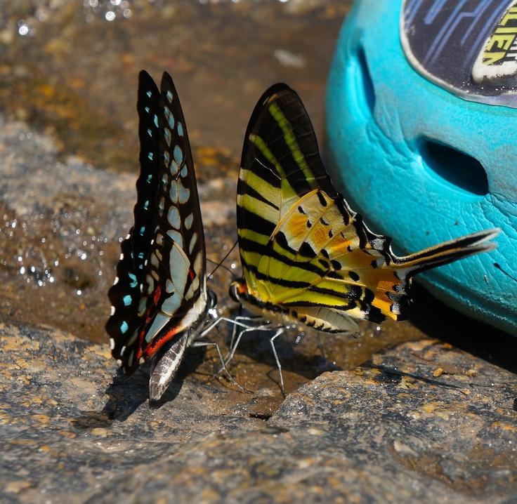 Two pretty butterflies by Klong Plu waterfall, Koh Chang. http://www.kathrinerostrup.dk/2013/04/exploring-koh-chang-part-i/