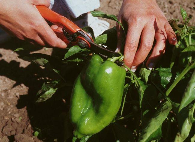 Pour récolter de nombreux légumes au potager, piments et poivrons tous les conseils de culture.