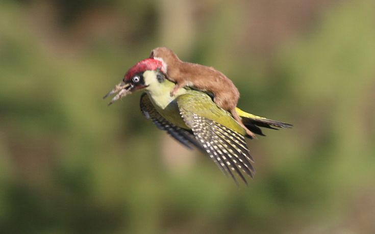 A remarkable photo has captured a weasel on a woodpeckers back as the bird flies through the air. The photographer, Martin Le-May from Essex, said he feared the worst for the green bird after hearing distressed squawking during its struggle with the mammal at Hornchurch Country Park. After Le-May managed to capture the incredible image - which has become a hit on Twitter since it was taken earlier today - the creature managed to escape with its life.